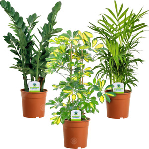 Indoor Plant Mix - 3 Plants - House / Office Live Potted Pot Plant Tree (Mix A)