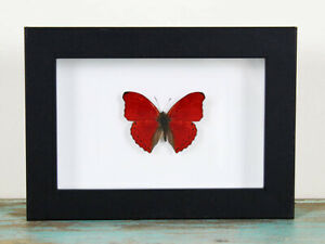 Red glider butterfly in a frame