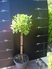 Plants Ficus Emerald Standard 300mm Pots  approx 90cm-1m hgt   2 pots for $79-