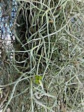 1 Gallon Bag Real Fresh Live Spanish Moss for Craft Basket. Garden Craft etc