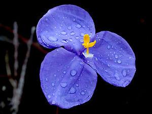 für den Garten: eine wunderschöne Blume: die blau-violett-gelbe Patersonia-Iris