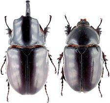 Insect - DYNASTIDAE Heterogomphus mirabilis - N.Peru - Medium Pair 45mm+ ....!!