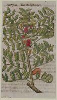JOHN GERARD BOTANICA MATTHIOLI 1597 LENTISCUS LENTISCHIO LENTISK