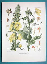 ORANGE MULLEIN Medicinal Verbascum Phlomoides - Beautiful COLOR Botanical Print