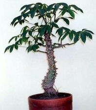 Cotton Tree fresh seeds, Houseplant, grow your own cotton! Easy bonsai too!