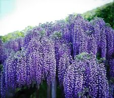 WISTERIA 'BLUE MOON' - STARTER PLANT - DORMANT