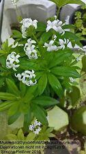3 X  Stauden Pflanze Waldmeister ( Galium odoratum )
