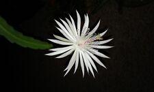 "Epiphyllum,Orchid Cactus, night blooming white, fresh,two 6"" ceseus oxypetalum"