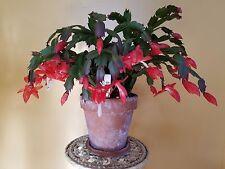 Sunset Orange Zygocactus 'Thanksgiving/Christmas Cactus' 5 Healthy Cuttings
