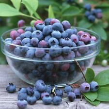 100pcs Seeds Plant Blueberry Garden Edible Fruit Bonsai Indoor Outdoor Available