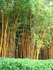 40 Seeds Rare Golden Bamboo Seeds Bamboo plant seeds Gold garden Bamboo