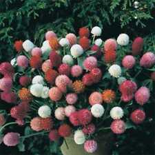 GOMPHRENA SEEDS - Woodcreek Mixed - Annual - Globe Amaranth - 50 Seeds