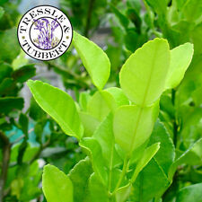 Rare THAI KAFFIR LIME CITRUS HYSTRIX BAI MAGROOD, spice - 5 seeds - UK SELLER