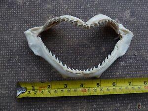Nice New Real Bull Shark Jaw - Taxidermy - A Grade 18x9cm