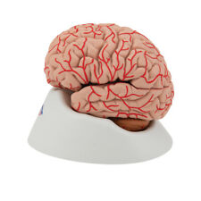 Human Brain Model with Arteries, 9 part