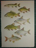 Vintage Natural Historia Estampado ~ Fish Peces Varios Lucio