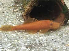 New listing 3 Super Red Bristlenose Plecostomus Live Fish Aquarium Fresh Water Pleco Awesome