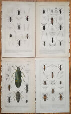 CUVIER Lot of 4 Original Colored Prints Insect Beetle (C)  - 1837