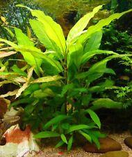 Hygrophila augustifolia 1 Pousse 30 à 40 cm plante aquarium