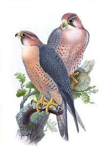 John Gould Native  Birds print Falcon Peregrinus  painting Vintage art Australia