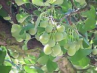 10 graines de Gingko Biloba bonsaï seeds Ginkgo Ginko  Maidenhair tree