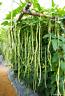 Ungewöhnliche Samen die Meterbohnen Ertragreiche Kletterpflanze für den Garten !