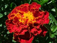Marigold French Spanish Red Brocade (150 seeds)- Heirloom from Life-Force Seeds