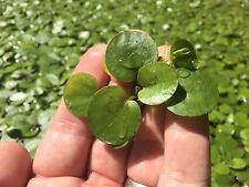 20+ Amazon Frogbit (L. laevigatum) plants! - Easy to Grow!