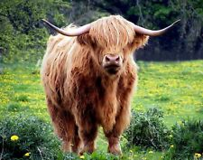 STUNNING HIGHLAND COW CANVAS PICTURE PRINT WALL ART CHUNKY FRAME LARGE 1921-2