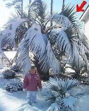 Himalaya Palme Balkonpflanzen Pflanzen für den Topf winterhart immergrün blühend