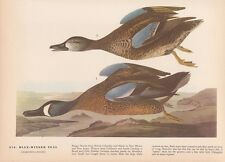 """1942 Vintage AUDUBON BIRDS #172 /""""BLUE HEADED QUAIL DOVE/"""" Color Art Plate Litho"""