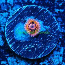 New listing Cornbred's Supernova Paly - 1 Polyp - Frag - Live Coral