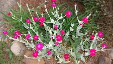 ROSE CAMPION LAMBS EAR SILVER PERENNIAL GROUND COVER PINK FUCHSIA FLOWER PLANT