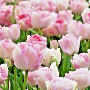 Tulip Bulbs, 12 ANGELIQUE' | Large Spring Flowering Tulip Bulbs