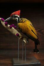 Greater Flameback woodpecker taxidermy  + wood base