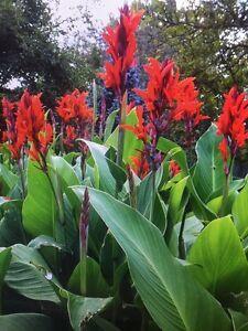 Canna Bulbs Red Jumbo Plants Tall  Plants Lot Of(5)Green Leaf Lily Rhizomes