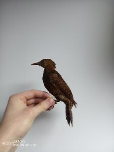 Antique Taxidermy South American Woodpecker Exotic Bird