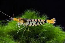5 X TIGER SHRIMP LIVE ALGAE EATER CLEAN UP TROPICAL FISH TANK PLANTED AQUARIUM