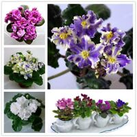 100 PCS Mini Violet Seeds African Violet Garden Potted Plants Violet Flowers Per
