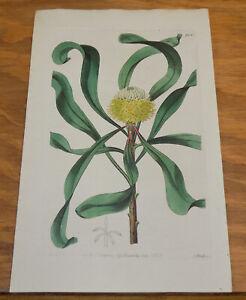 1825 Antique COLOR Floral Print///LONG-LEAVED ISOPOGON SHRUB