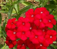 Phlox Flower Seeds - Red - Bulk - 4,000 Seeds *