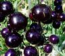 Blaue, Schwarze TOMATEN  8  Sorten als Mix,Tomate, blau, lila, schwarz, purple,