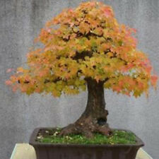 30Pc Seeds Rare Japanese Maple Bonsai Seeds Plant Home Garden Yard Decor 4Colors