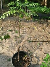 Curry Plant 1 foot Tall for Sale Free Shippling