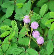 *Rare Exotic* Sensitive Plant Fresh Seeds From Canada