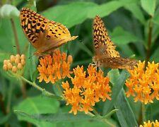 Asclepias tuberosa | Butterfly MilkWeed | 100-Seeds