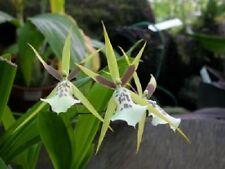 "ORCHID MILTASSIA ""GREEN GODDESS"" - Mature plants - A delightful and rare hybrid."