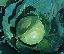 VEGETABLE  CABBAGE EARLIEST OF ALL  2000 SEEDS  ** UK FREE P&P **
