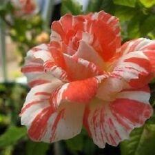 20+ ORANGE AND WHITE DRAGON Rose Bush Seeds ,, USA SELLER  SHIPS FREE