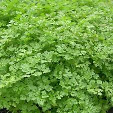 chervil, FRENCH PARSLEY, herb spice seeds! GroCo*